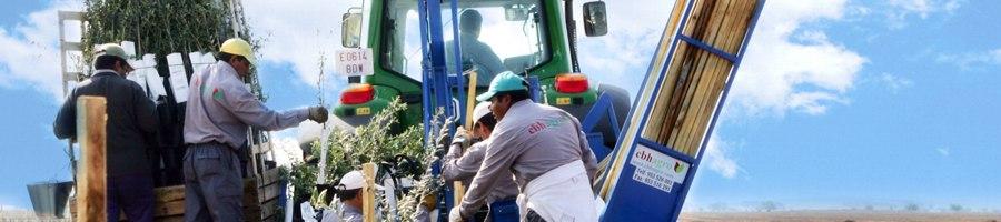 Plantaciones mecanizadas de olivar - cbh