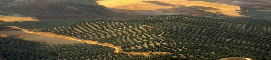 Plantaciones de olivar superintensivo - cbh