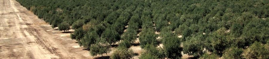 Plantaciones olivar intensivo - cbh