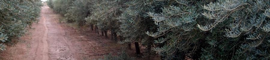 Plantaciones de olivar - cbh