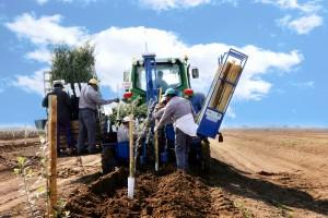 plantaciones-de-olivar-cbh-6
