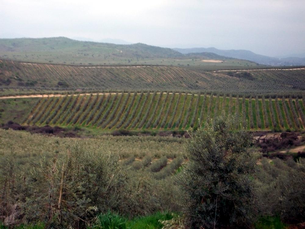 Plantaciones de olivar de alta densidad ecologico