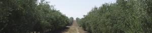 Plantaciones olivar en seto