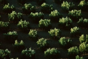 Symmetry of an Olive Grove