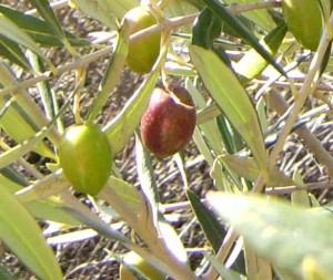 Aceituna de variedad picual. Fuente. Wikipedia.com