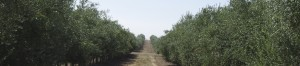 Plantaciones de olivar.
