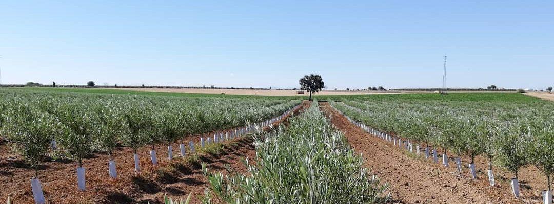 plantacion de olivar superintensivo de regadio