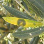 Plagas y enfermedades en las plantaciones de olivar