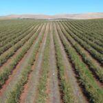 Las fases de un proyecto de plantación tanto en olivar como en almendro.