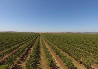 plantacion almendros en seto