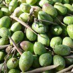 Tecnología al servicio de las plantaciones de olivar