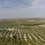 El olivar: un cultivo milenario