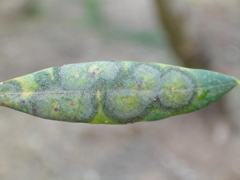 Repilo del olivo