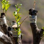 ¿Qué es un injerto de cultivo y cuáles son sus beneficios?
