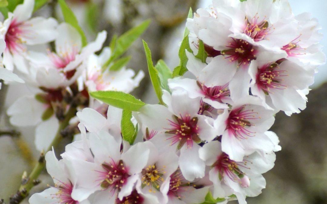 Flor del Almendro: datos, floración y más