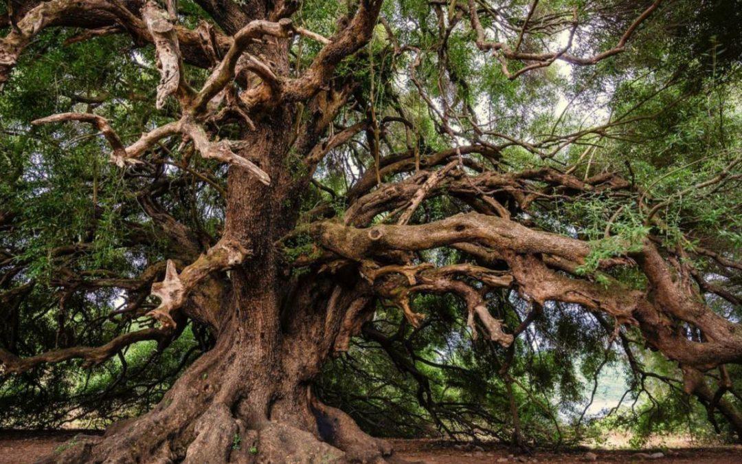 Olivos Centenarios: Características y Venta