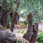 Trampas para la mosca del olivo: cómo hacerlas tú mismo
